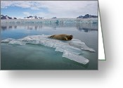 Resting Animals Greeting Cards - A Bearded Seal Resting On Shrinking Sea Greeting Card by Paul Nicklen
