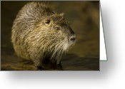 Henry Doorly Zoo Greeting Cards - A Beaver From The Omaha Zoo Greeting Card by Joel Sartore