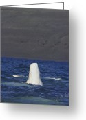 Beluga Greeting Cards - A Beluga Whale Lifts Head Out Of Water Greeting Card by Norbert Rosing