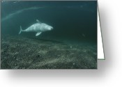 Delphinapterus Leucas Greeting Cards - A Beluga Whale Swimming On Its Side Greeting Card by Brian J. Skerry
