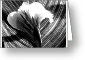 Canna Greeting Cards - A Black and white canna claw Greeting Card by Frank Wickham