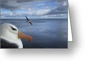 Oceans And Seas Greeting Cards - A Black-brow Albatross On Nest While Greeting Card by Frans Lanting