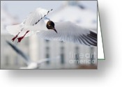 Nymphenburg Greeting Cards - A Black-headed Gull in flight Greeting Card by Andrew  Michael