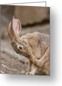 Jackrabbit Greeting Cards - A Black-tailed Jackrabbit Greeting Card by Joel Sartore