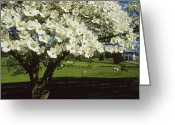 Wood Fences Greeting Cards - A Blossoming Dogwood Tree And Grazing Greeting Card by Annie Griffiths