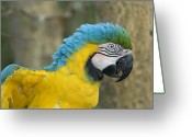 Property Released Photography Greeting Cards - A Blue-and-yellow Macaw Ara Ararauna Greeting Card by Joel Sartore