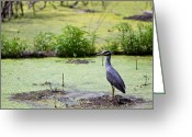 Heaven Greeting Cards - A blue bird in a wetland -Yellow-Crowned Night Heron  Greeting Card by Ellie Teramoto