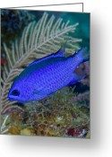 Tropical Climate Greeting Cards - A Blue Chromis Swims Into The Current Greeting Card by Terry Moore