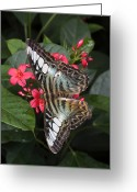 Ellicott Greeting Cards - A Blue Clipper Butterfly Feeds Greeting Card by George Grall