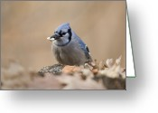 Blue Jay Greeting Cards - A Blue Jay Cyanocitta Cristata Finds Greeting Card by Joel Sartore