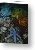 Sea Anemones Greeting Cards - A Blue Starfish With Colorful Coral Greeting Card by Wolcott Henry