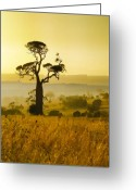 Grasses Greeting Cards - A Boab Sunrise Greeting Card by Holly Kempe