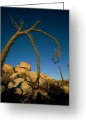 Flexibility Greeting Cards - A Boojum Tree Fouquieria Columnaris Greeting Card by Tim Laman