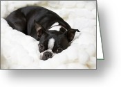 Laying Down Greeting Cards - A Boston Terrier Rests On A Puffy White Greeting Card by Hannele Lahti