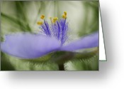 Close Views Greeting Cards - A Bracted Spiderwort Flower In Bloom Greeting Card by Jim Richardson