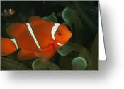 Sea Anemones Greeting Cards - A Brilliant, Flourescent-orange Greeting Card by Wolcott Henry