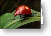 Chromatic Greeting Cards - A Brilliantly Red Leaf Beetle Greeting Card by George Grall