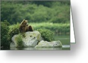 Resting Greeting Cards - A Brown Bear Resting On A Rock Greeting Card by Klaus Nigge