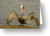 Pelicans Greeting Cards - A Brown Pelican Pelecanus Occidentalis Greeting Card by Tim Laman