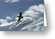 Skua Greeting Cards - A Brown Skua Fies Above Snow Covered Greeting Card by Gordon Wiltsie