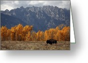 Buffalo Greeting Cards - A Buffalo Grazing In Grand Teton Greeting Card by Aaron Huey
