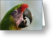 Captive Animals Greeting Cards - A Buffons Macaw Ara Ambigua Greeting Card by Joel Sartore