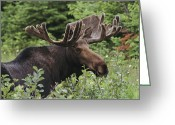 Antlers Greeting Cards - A Bull Moose Among Tall Bushes Greeting Card by Michael Melford