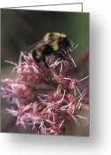 Close Views Greeting Cards - A Bumblebee Collects Pollen Greeting Card by Taylor S. Kennedy