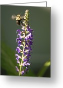 Bumble Greeting Cards - A Bumblebee Hovers Around Purple Salvia Greeting Card by Joel Sartore