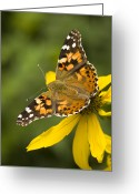 Santa Fe National Forest Greeting Cards - A Butterfly Sits Atop A Yellow Greeting Card by Ralph Lee Hopkins