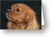 Spaniels Greeting Cards - A Caramel Look Greeting Card by Daphne Sampson
