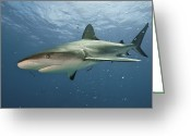 West Indies Greeting Cards - A Caribbean Reef Shark Swimming Greeting Card by Brian J. Skerry