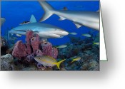 West Indies Greeting Cards - A Caribbean Reef Shark Swims Greeting Card by Brian J. Skerry