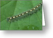 Close Views Greeting Cards - A Caterpillar Crawls Across A Leaf Greeting Card by Taylor S. Kennedy