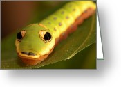 Spicebush Swallowtail Greeting Cards - A Caterpillar Of The Spicebush Greeting Card by Darlyne A. Murawski