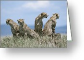 Acinonyx Greeting Cards - A Cheetah Family Greeting Card by David Pluth