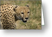 Henry Doorly Zoo Greeting Cards - A Cheetah Opens Its Mouth Just Wide Greeting Card by Joel Sartore