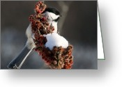 Nature And Wildlife Greeting Cards - A Chickadee the day.. keeps the doctor away... Greeting Card by Nina Stavlund