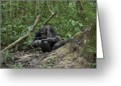 Foraging Greeting Cards - A Chimp At A Termite Mound Fishing Greeting Card by Ian Nichols