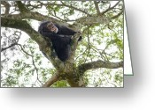 Resting Animals Greeting Cards - A Chimp Resting High In The Forest Greeting Card by Ian Nichols
