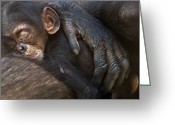 Senegal Greeting Cards - A Chimpanzee Infant Sleeping Greeting Card by Frans Lanting