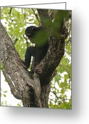 Foraging Greeting Cards - A Chimpanzee Jams A Modified Stick Greeting Card by Frans Lanting