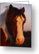 Wild Horses Greeting Cards - A Chincoteague Pony In The Light Greeting Card by Nick Caloyianis