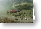 Animal Life Cycles Greeting Cards - A Chinook Salmon Fish Oncorhynchus Greeting Card by Michael S. Quinton