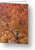 Autumn Scenes Greeting Cards - A Claret Ash Tree In Its Autumn Colors Greeting Card by Jason Edwards