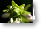 Bud Greeting Cards - A Close Up Of A Giant Hosta Flower Greeting Card by Joel Sartore