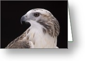 Red-tailed Hawk Greeting Cards - A Close-up Of A Kriders Red-tailed Greeting Card by Joel Sartore
