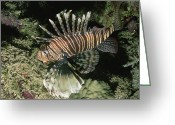 Poisonous Greeting Cards - A Close-up Of A Lionfish Genus Pterois Greeting Card by Carsten Peter