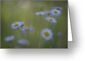 Santa Fe National Forest Greeting Cards - A Close Up Of Purple Aster And Daisy Greeting Card by Ralph Lee Hopkins