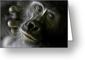 Apes Greeting Cards - A Close Up Portrait Of A Mountain Greeting Card by Michael Poliza